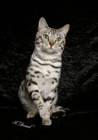 all you need to know about a bengal cat.. or you can just look at the pictures like me.