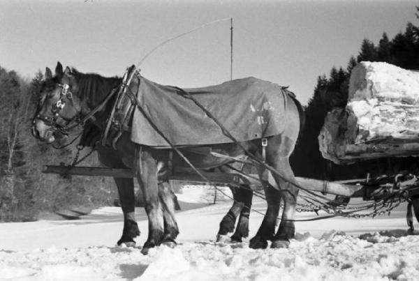 Internamento in Svizzera. Reiden: disboscamento della foresta. Coppia di cavalli che trasportano i tronchi nella neve.