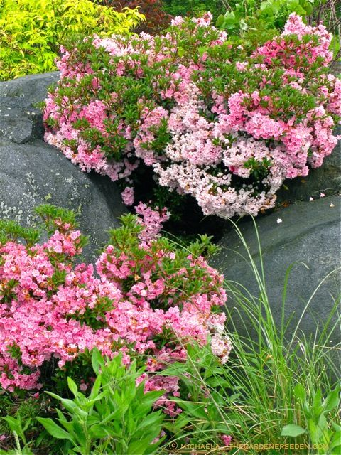 Mountain laurel (Kalmia latifolia) is a beautiful and versatile garden plant.  With nearly 100 cultivars ranging in size from the diminutive, (12″ high plants suitable for small spaces and rock gardens), to the imposing, mountain laurels are useful in garden designs of any scale.