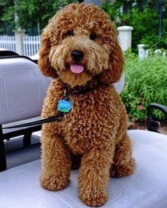 mini goldendoodle for sale - Google Search