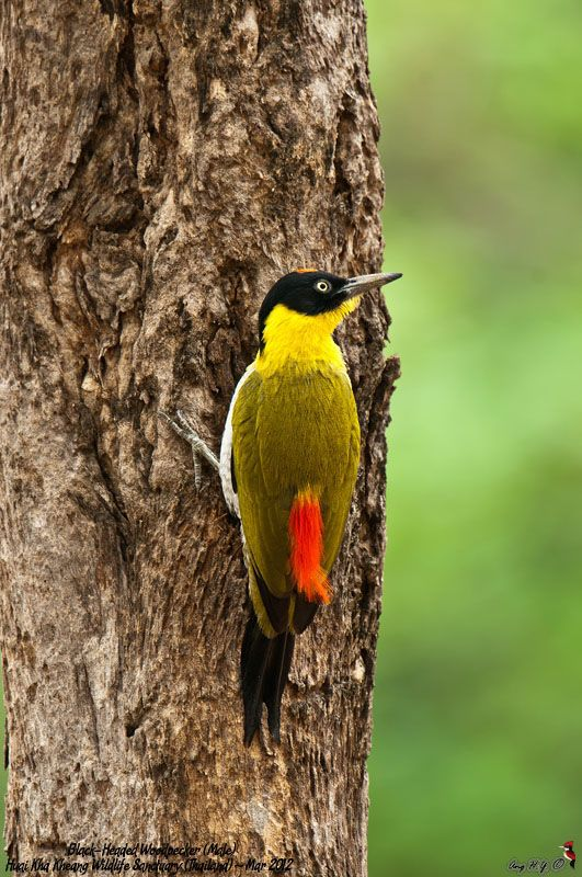 Black-Headed Woodpecker (Male). It's habitat is in Cambodia, Laos, Myanmar, Thailand, and Vietnam.