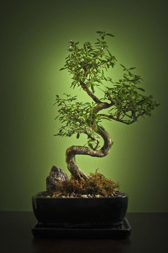 Bonsai Needs Delicate Care And Can Challenge Some Green Thumb Skills 1000 In 2020 Indoor Bonsai Tree Bonsai Tree Bonsai Tree Types