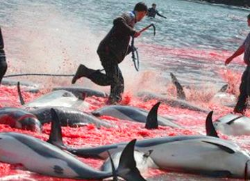 Annual Whale Slaughter Still a Tradition on the Faroe Islands~  ;( The grind, as the Pilot whale drive is called, has a recorded history since 1584. There are 23 whaling bays assigned to six districts in which the meat and blubber ...