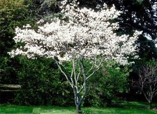 Amelanchier Alnifolia Saskatoon Serviceberry 2-3 Ft Young Tree Fruit Songbirds