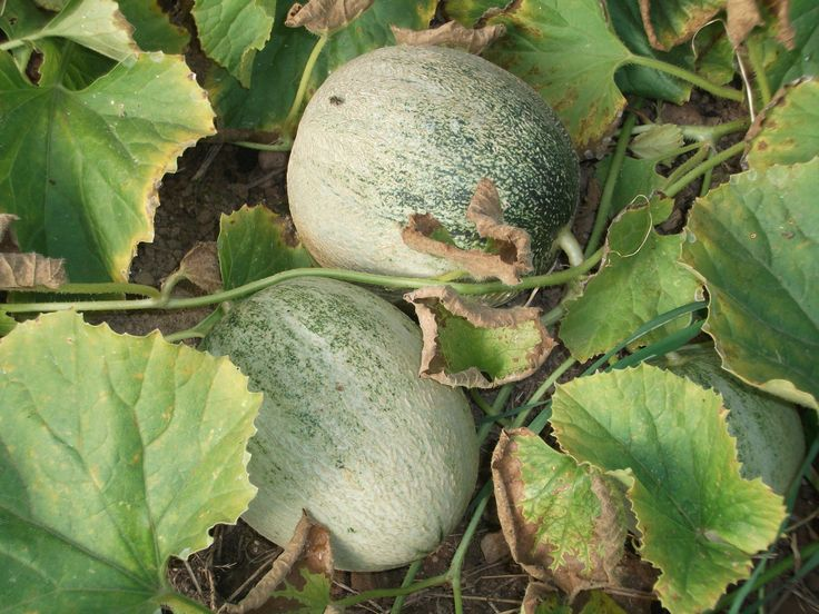 Sweet baby melons growing in the plastic tunnel.