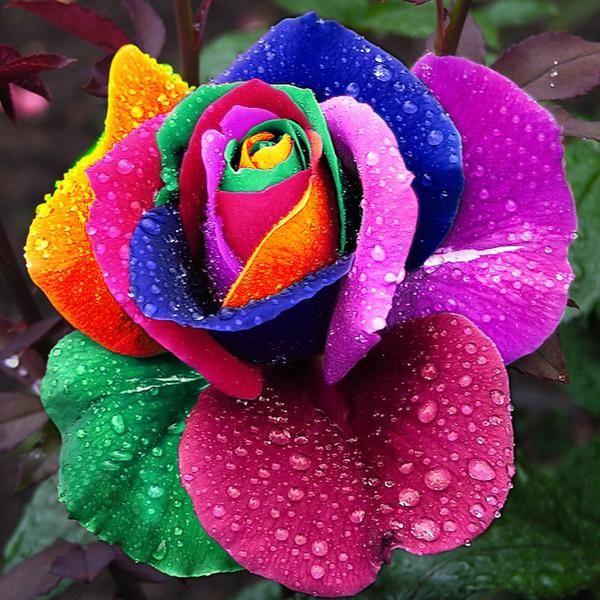 Rare Holland Rainbow Rose Flower Seeds Quantity: 150 pcs Germination time: 20-30 days For germination temperature: 18-25 Celsius Applications: Farm,terrace,garden,living room,study,windows,bedroom,pat