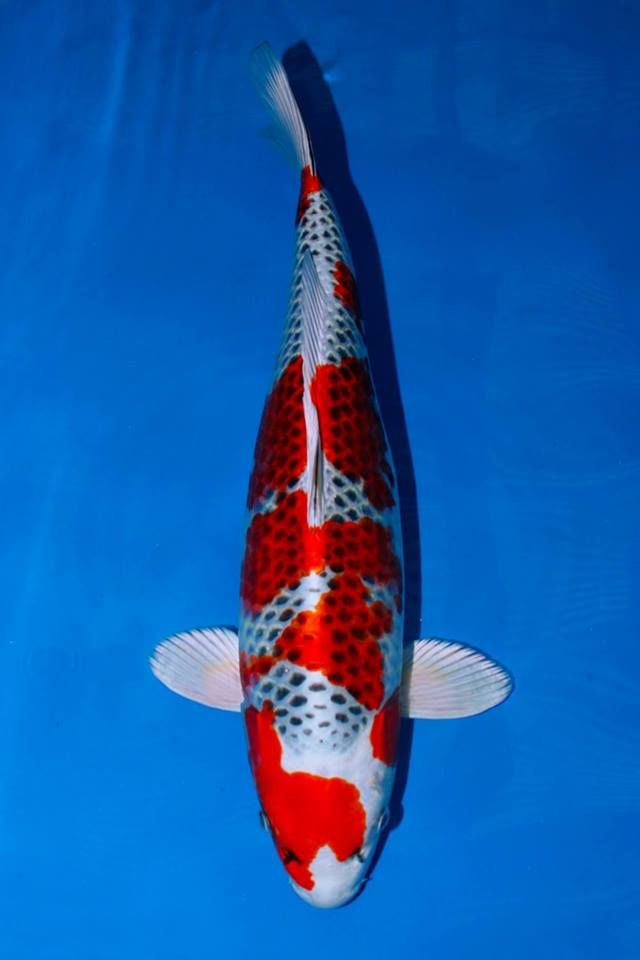 Ajks 2015 winners mr jeroen van keulen 60bu kujaku 3rd for Koi hatchery