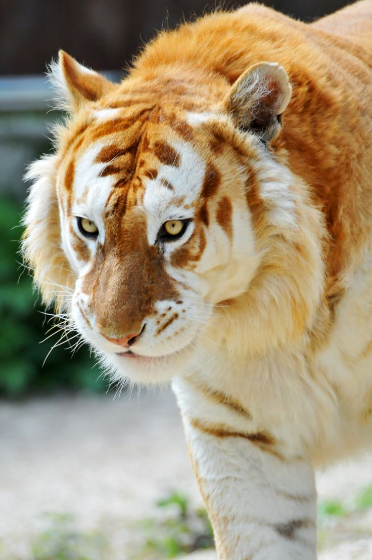 "This is the ""Golden"" Tiger, displaying a color mutation which has ""bleached"" its stripes. It is NOT a distinct species of tiger, but rather an accident of captive cross- breeding. Beautiful though they are, these cats, like the popular white tigers, would not do well in the wild because of their bright colouration."