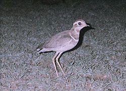 El corredor del Godavari3 (Rhinoptilus bitorquatus) es una especie de ave nocturna en la familia Glareolidae, endémica de la India. El ave fue descubierta por el médico naturalista Thomas C. Jerdon en 1848 pero no se la volvió a avistar hasta su redescubrimiento en 1986.4 Habita en una zona endémica restringida de la India en los Ghats orientales de Andhra Pradesh.