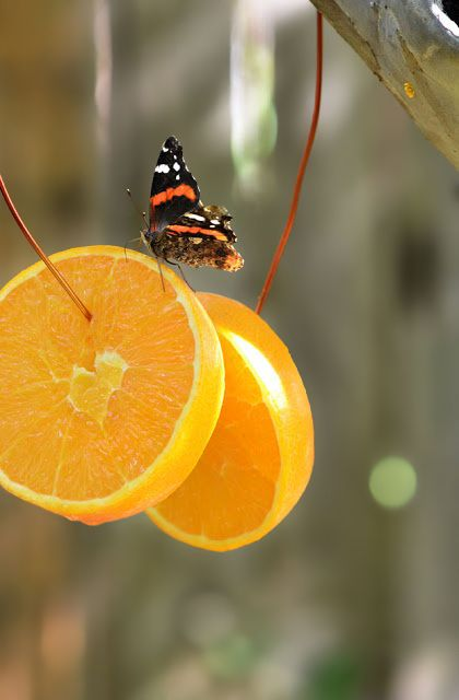 Attract Butterflies w/ Orange Slices