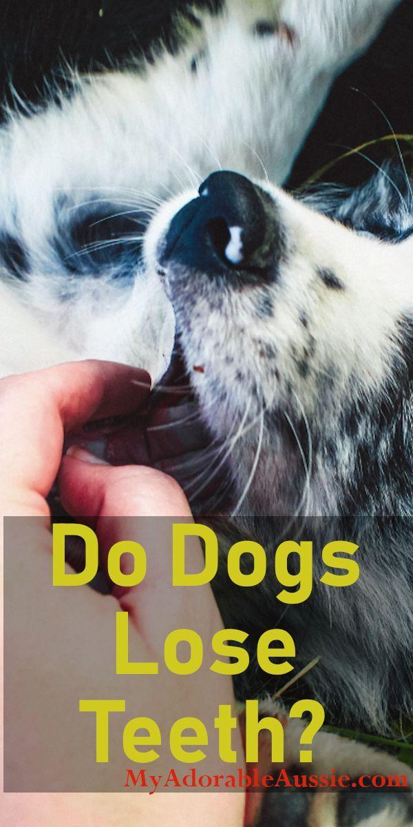 Do Australian Shepherd Dogs Lose Teeth Australian Shepherd Dog
