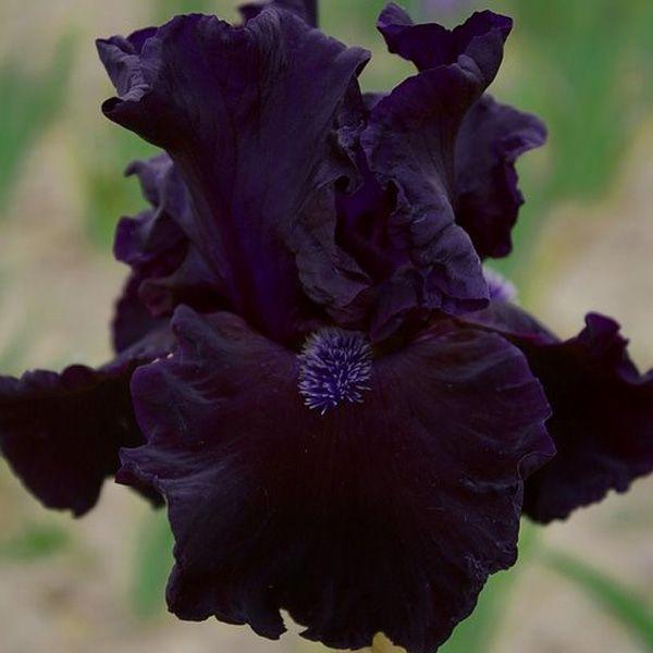 Iris germanica Obsidian