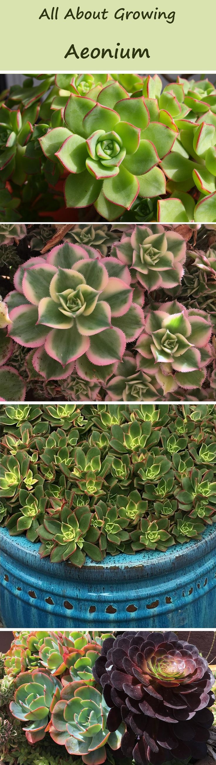 Aeonium are gorgeous, colorful succulents. The very easiest rosette succulent to grow and propagate. Learn more here! :)