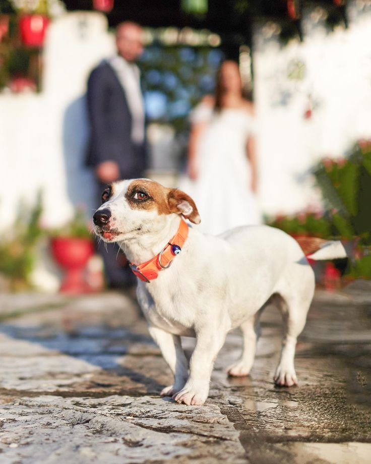 . D o g g o  l o v e  _ Pets are family too and they deserve to be present on your big day this pup here just gave his Ok. to photograph his hoomans and posed as well  #pet #dog #doggy #weddingpets #pose #smile #love #greece #photographer #adventureworld #destinationweddingphotographer #greeceweddingphotographer  #sotiristsakanikas
