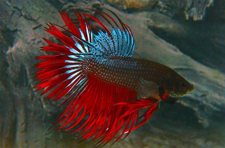 Ber ideen zu kampffische auf pinterest for Kampffisch futter
