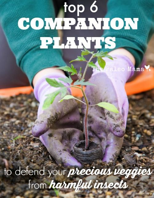 Top 6 Companion Plants to Defend Your Precious Veggies from Harmful Insects | The Paleo Mama