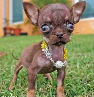 Smallest Dog, Milly from Puerto Rico. whow look at those eye...still so cute though lol