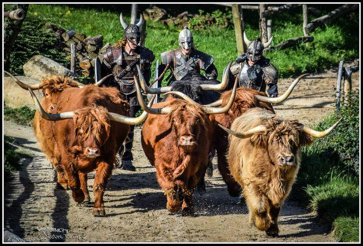 Les Highlands Cattle d'Ecosse (race de vache Vikings ?)