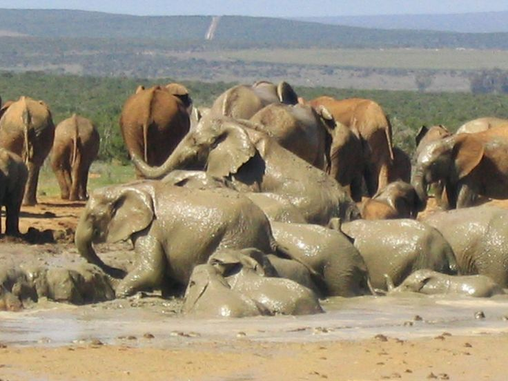 Elephant mud bath, South Africa http://www.ytravelblog.com/addo-elephant-park-south-africa/