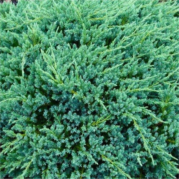 42 Best Images About ZCupressaceae Juniperus On Pinterest