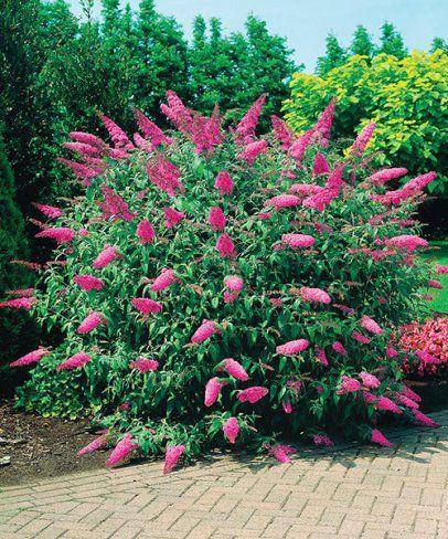 Letní šeřík ´Pink Delight´. Buddleia davidi 'Pink Delight'. Obrovské růžové, až 40 cm dlouhé květy vábí motýly z širokého okolí. Pokud máte rádi růžovou a motýly, pak komule je to pravé. Od začátku léta, kdy vykvétá, až do podzimu nese nápadné květy, kolem kterých krouží motýli.