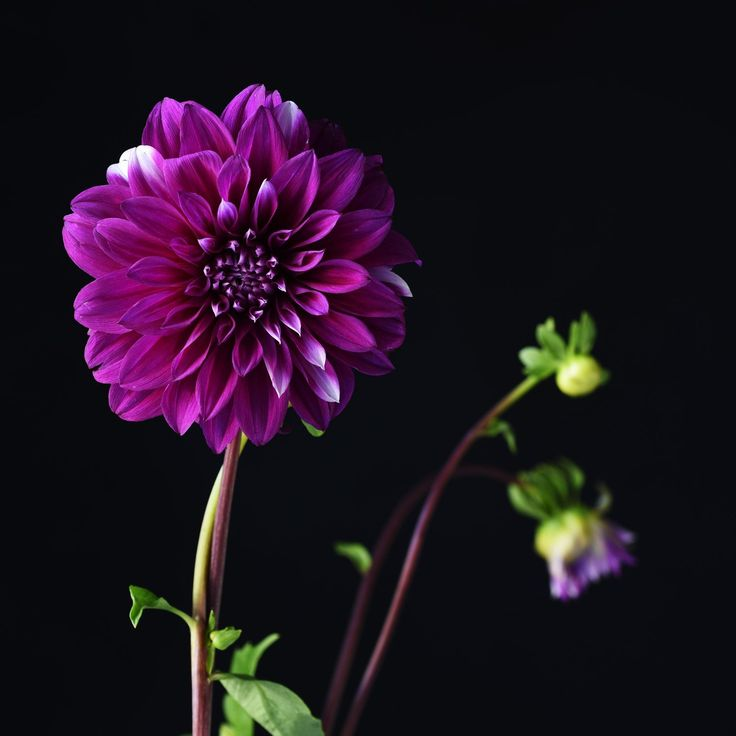 Don Urban. Dahlia. . . . #flowers #botanicalphotography #nature #art #botanicalart #botanical #flora #photography #flowerporn #macro #floweroftheday #macrophotography #macroflowers  #botanicalart #flowersandmacro #botanicaminima #botanicalportrait #moodybotanicals #plantsonblack #flowersonblack #macro_vision #macro_perfection #darkbotanical #moodybotanicalportraits #botanicaetcetera #plantnerd