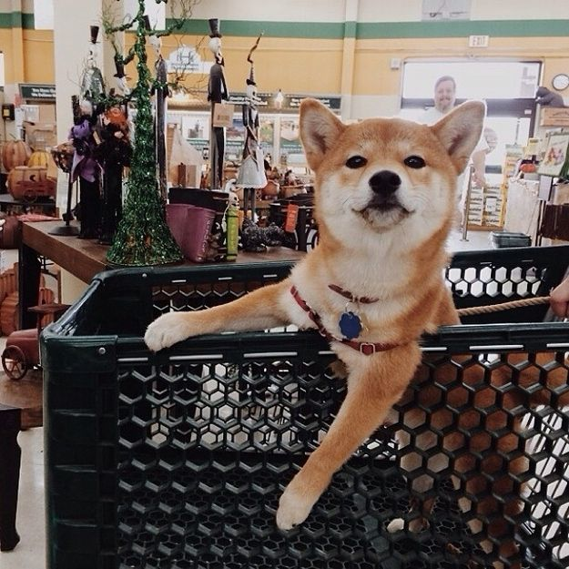 LISTEN UP, PUNKS. KITSU KNOWS WHERE THE DEALS ARE. | 16 Reasons Why Kitsu Is The Shiba Inu Of Your Dreams