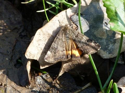 Orange Underwing: breaking the myths | Nature Notes from Dorset