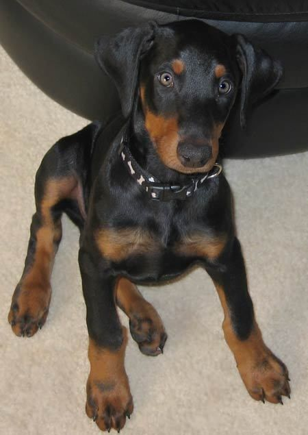 dobermann with floppy ears remind me of my dog vinny! We