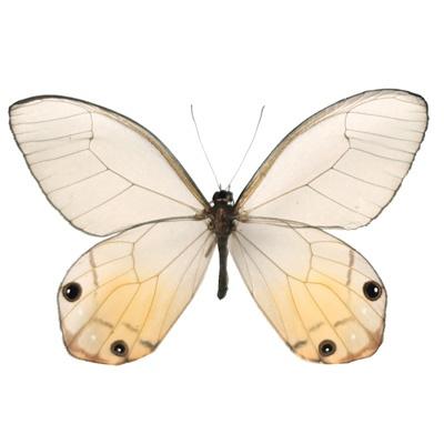 Spectacular Haetera macleannania Width cm Order Lepidoptera
