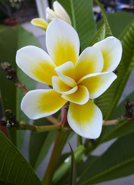 """Bali Whirl"" (plumeria) by ankewill on flickr"
