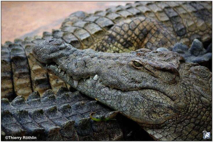 La tête du crocodile du Nil (Crocodylus niloticus) apposée sur un autre crocodile afin de se reposer.