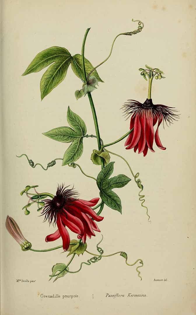 Passiflora kermesina. Vigorous vines native to Brazil with bright red flowers. Herbier général de l'amateur. Deuxième Série, vol. 1 (1839-50)