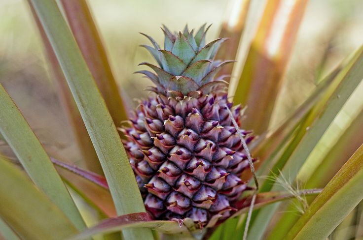little pineapple #fruits
