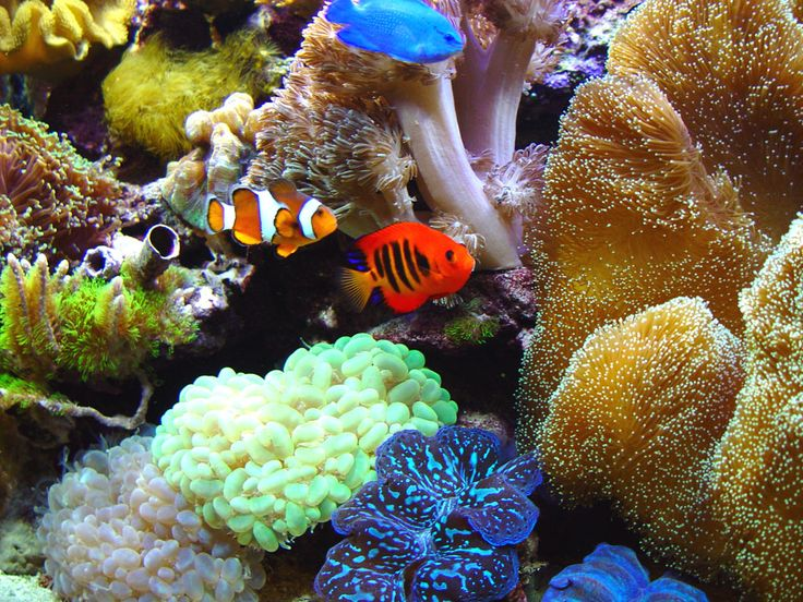 73 best images about saltwater fish on pinterest for Siamese fighting fish crossword