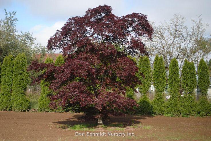 Acer palmatum 'Bloodgood'   Wholesale Nursery Supplies & Plant growers in Oregon   Nursery Guide