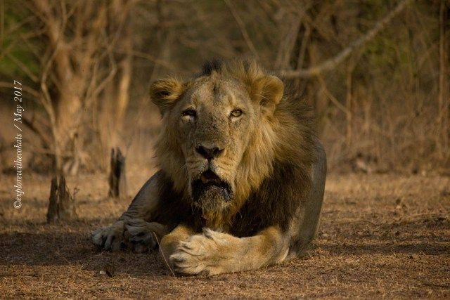 Gir National Park: The Majestic Home of the Royal Asiatic Lions | Explore with Ecokats - Sustainable Travel Blog