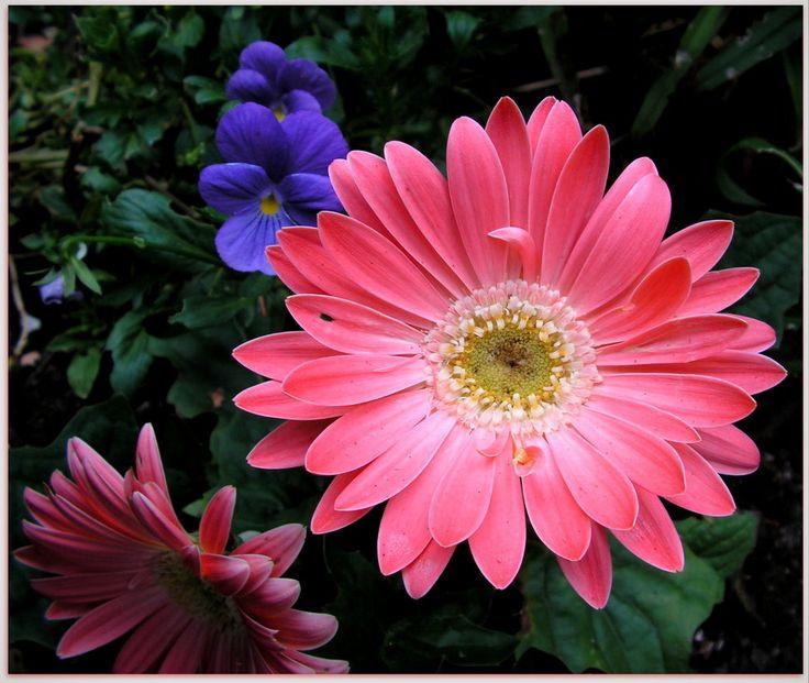 Pink Gerberas by JocelyneR.deviantart.com on @DeviantArt