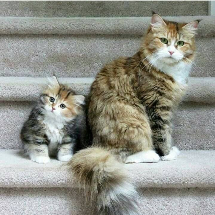Look like a Maine Coon blend of domestic tabby.