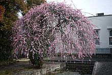 Prunus mume - Wikipedia, the free encyclopedia