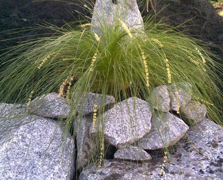 Australian Native Grass Species Naturally:  Lomandra Cylindrica Lime Cascade