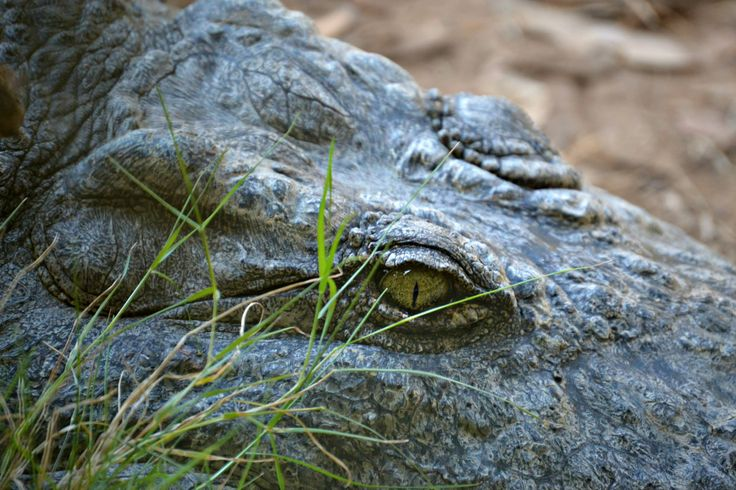 Scary but beautiful crocodile eye. Taken at the Crocodile Sanctuary in Knysna, South Africa.