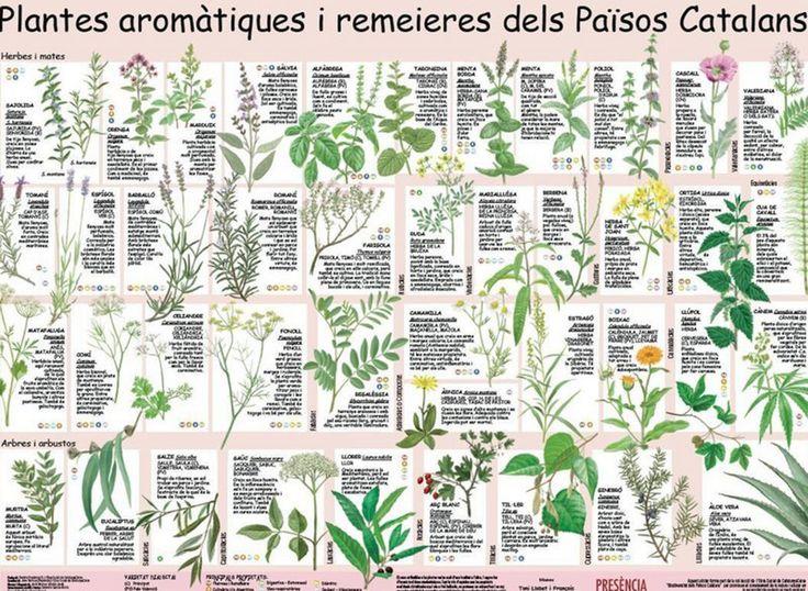 Plantes aromàtiques i remeieres dels Països Catalans. Sant Ponç