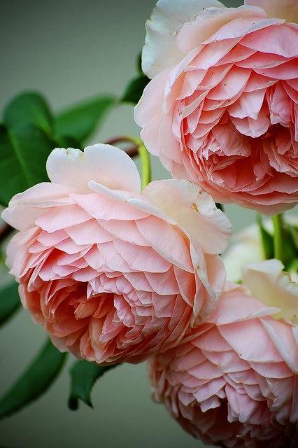 Old English Roses. Gorgeous