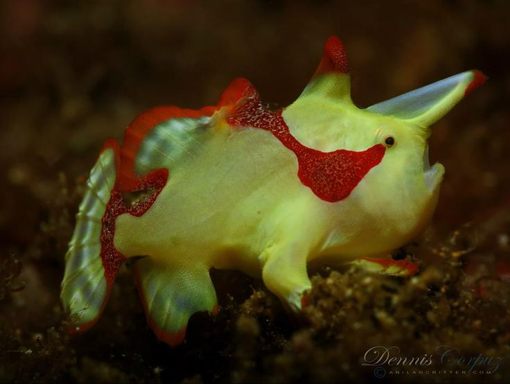 61 best frog fish images on pinterest under the for Clown fish scientific name