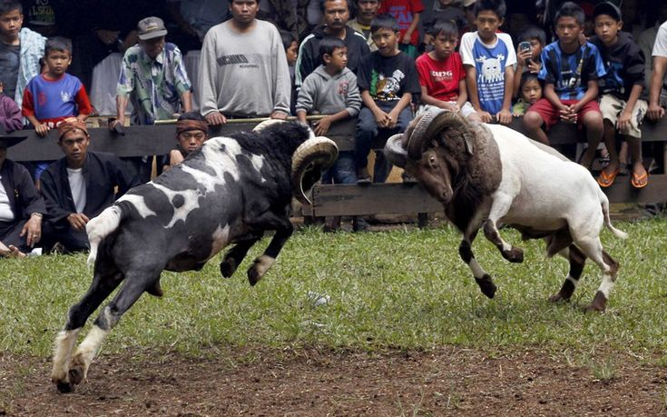 Animal abuse!!Spectators watch as rams charge toward one another during a sheep fighting contest in Garut, Indonesia