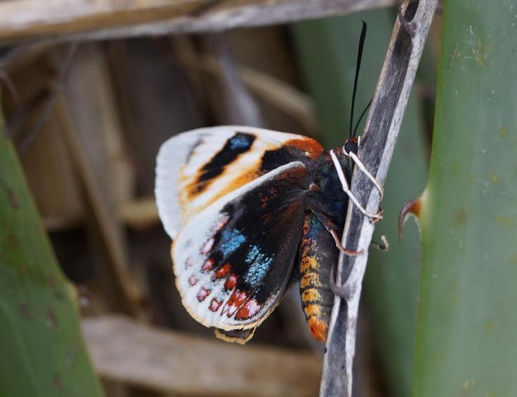 especies chilenas: La Mariposa del Chagual (Castnia psittachus)