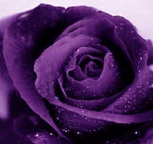 love purple roses: Fav Flowers, Beautiful Roses, Deep Purple, Beautiful Purple, Purple Passion, Beautiful Flowers, Things Purple, Purple Color, Purple Roses