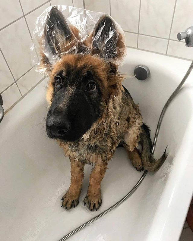 It Is A Bath Day Again Sherlocks Adventures Germanshepherd
