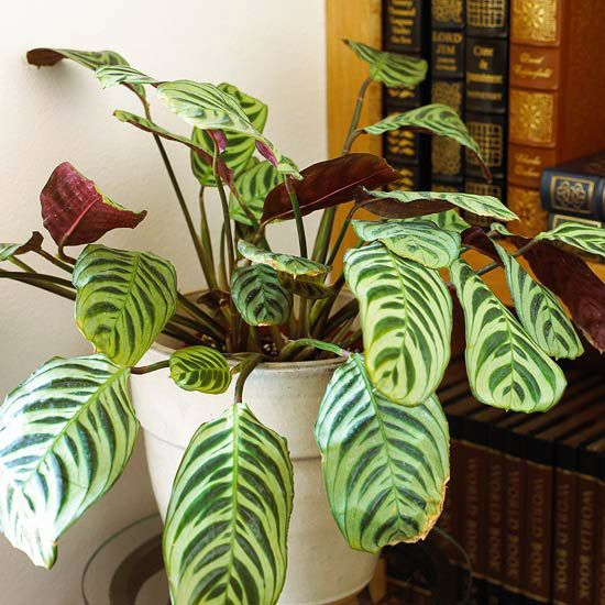 Peacock plant is one of the more commonly available types of Calathea, but you're likely to find several other species in garden shops.